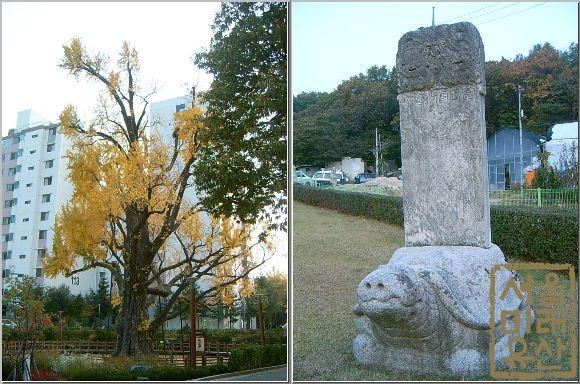 서울에서 가장오래된 나무 방학동 은행나무