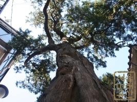 측백나무제 가리봉동 측백나무