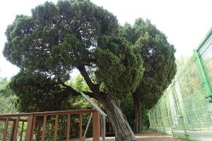 선린중고교나무_향나무1