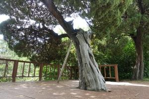 선린중고교나무_향나무2