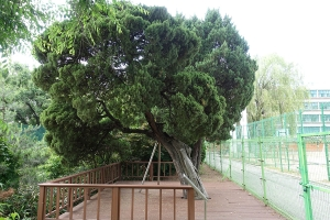 선린중고교나무_향나무7