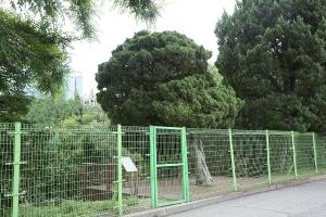 선린중고교나무_향나무8